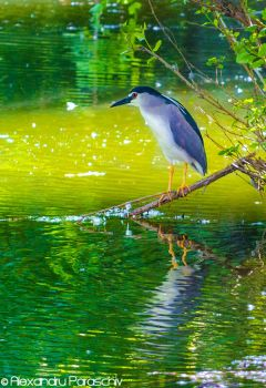 Black-crowned night heron by AlecsPS