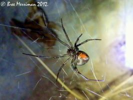 Red-Back Spider by BreeSpawn