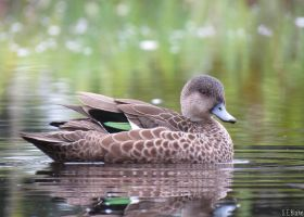 NZ grey teal by kiwipics