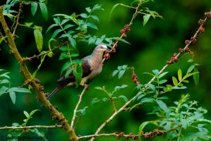 Barred Cuckoo-dove (Macropygia unchall). by DebasishPhotos