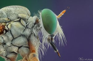 Robberfly III by AlHabshi