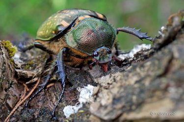 Female long-armed scarabs by melvynyeo