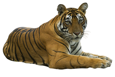 unrestricted hq tiger 3 by aio350
