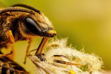 Sleeping Solitary Bee II by dalantech