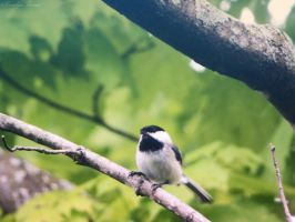 Spring Chickadee. by Sparkle-Photography