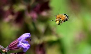 Blue Banded Bee. by wolftraz