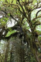 Hoh more Moss Trees by seancfinnigan