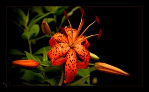 tiger lily by vw1956