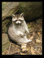 Rocky Raccoon II by Crooty