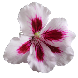 PNG Geranium Flower 02 by the-night-bird
