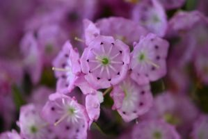 Mountain Laurel No. 2 by OfTheDunes