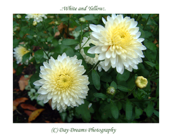 .:White and Yellow:. by DayDreamsPhotography