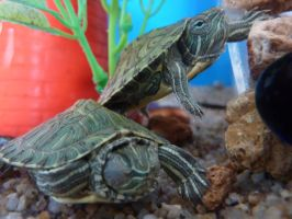 My Little Red-eared sliders by SingToLife