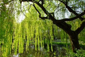 Weeping Willow by EmMelody