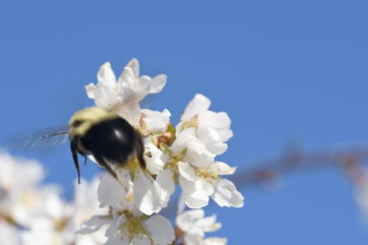 2018 Spring First Sighting,Bee and Blossoms Hover5 by Miss-Tbones