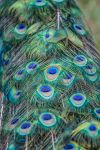 peacock feathers by neverFading-stock
