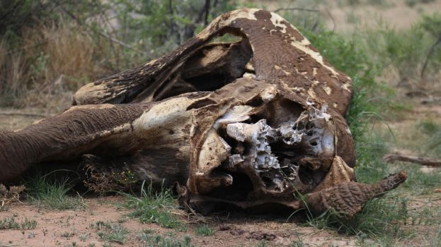Elephant carcass 2 by DoWnHIller