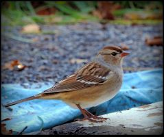 Cute Chipping Sparrow by JocelyneR