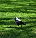 Magpie 01 by pkewphotography
