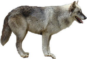 Grey Wolf Precut by WolfLover10122