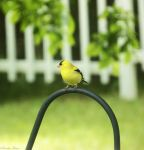Goldfinch. by Sparkle-Photography