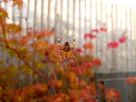 Spider in Autumn Leaves by Xylaphonic