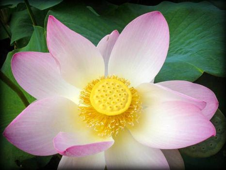 Flower of lotus by FabienBertham