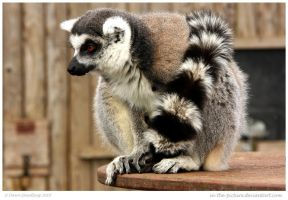 Lemur Fascination by In-the-picture
