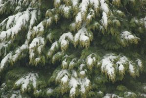 Snow on Conifer Leaves by wafitz