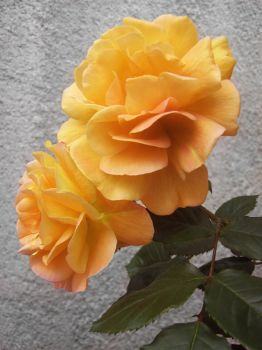 Yellow Rose by allison731