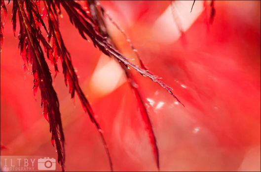 Shimmering Red by ILTBY