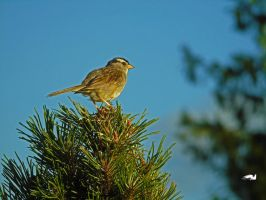 Sparrow On Pine Tree by wolfwings1