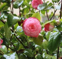Camellia on a rainy day of winter by scarlettnatalie