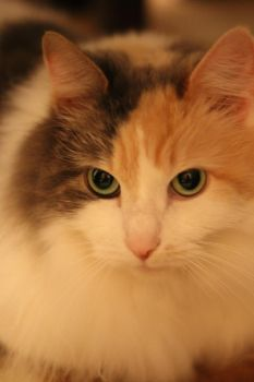 Calico Cat Stock 4 by ManipulatedAngel