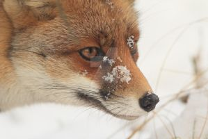 Cold Fox by AngelaLouwe