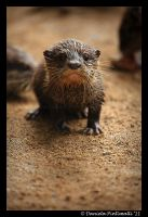 Baby Otter by TVD-Photography