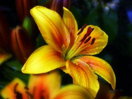 Golden Lilly by friartuck40