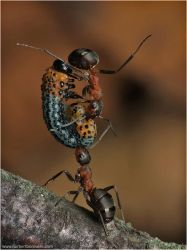 Strong ant by naybetx