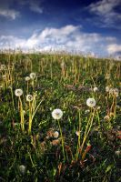 Dandelion Hill by tfavretto