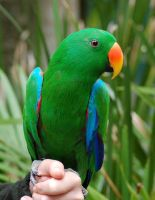 Eclectus Parrot Stock by Chunga-Stock