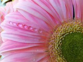 Pink gerbera and drops 2 by FrancescaDelfino