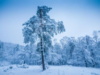 Snow on a pine tree by zeitspuren