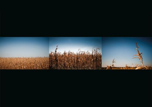 Maize Sequence by CreativeStubble