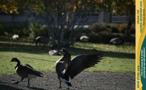Canadian Goose 14 by RoonToo