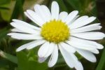 another Marguerite by nicolapin