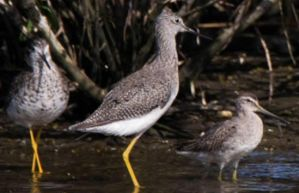 Yellowlegs 003 by Elluka-brendmer