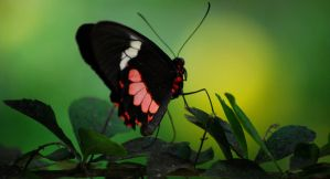 The proudest butterfly by d-elner