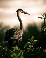 Great Blue Heron Nesting by QNetX