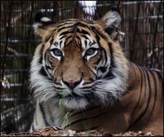 Sumatran Tiger 8 by Mkatpro11
