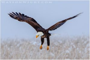 Bald Eagle in Flight by tourofnature